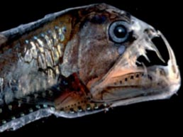 File:viperfish.jpg