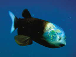 File:barreleye.jpg