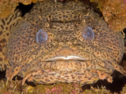 File:toadfish.jpg